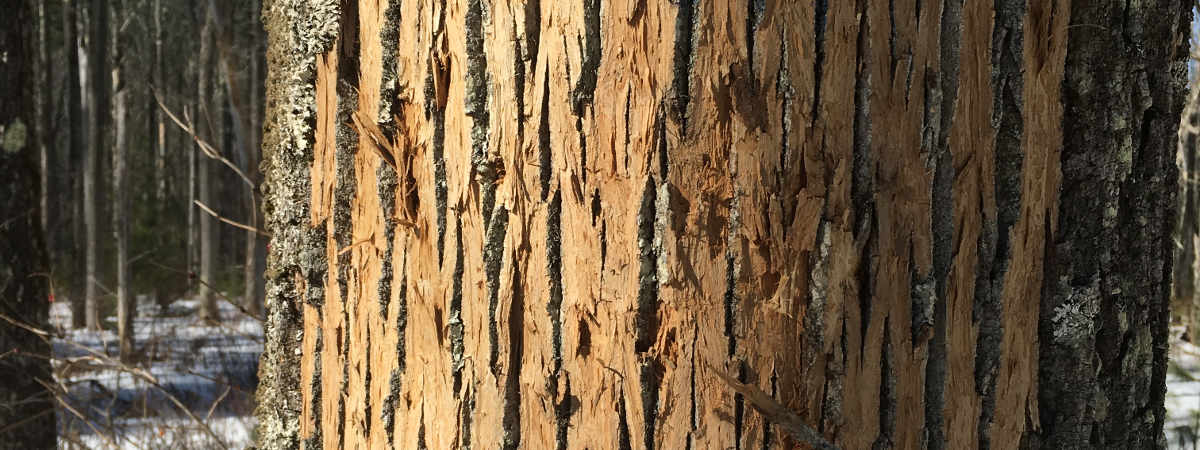 photo of emerald ash borer tree damage