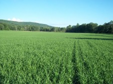 Photo of oats at Longmeadow Farm
