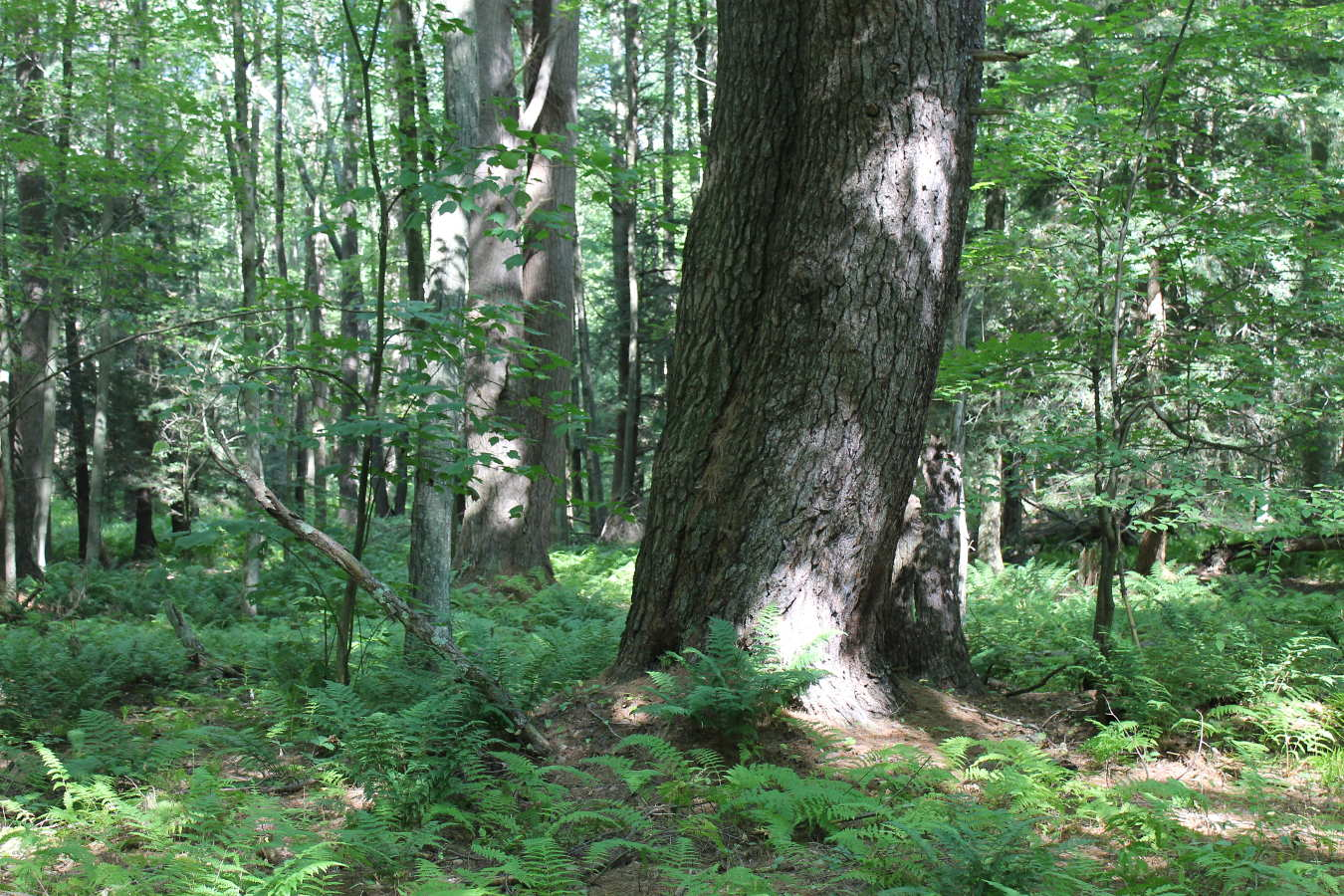 Photo of tree in Schiffman Woods