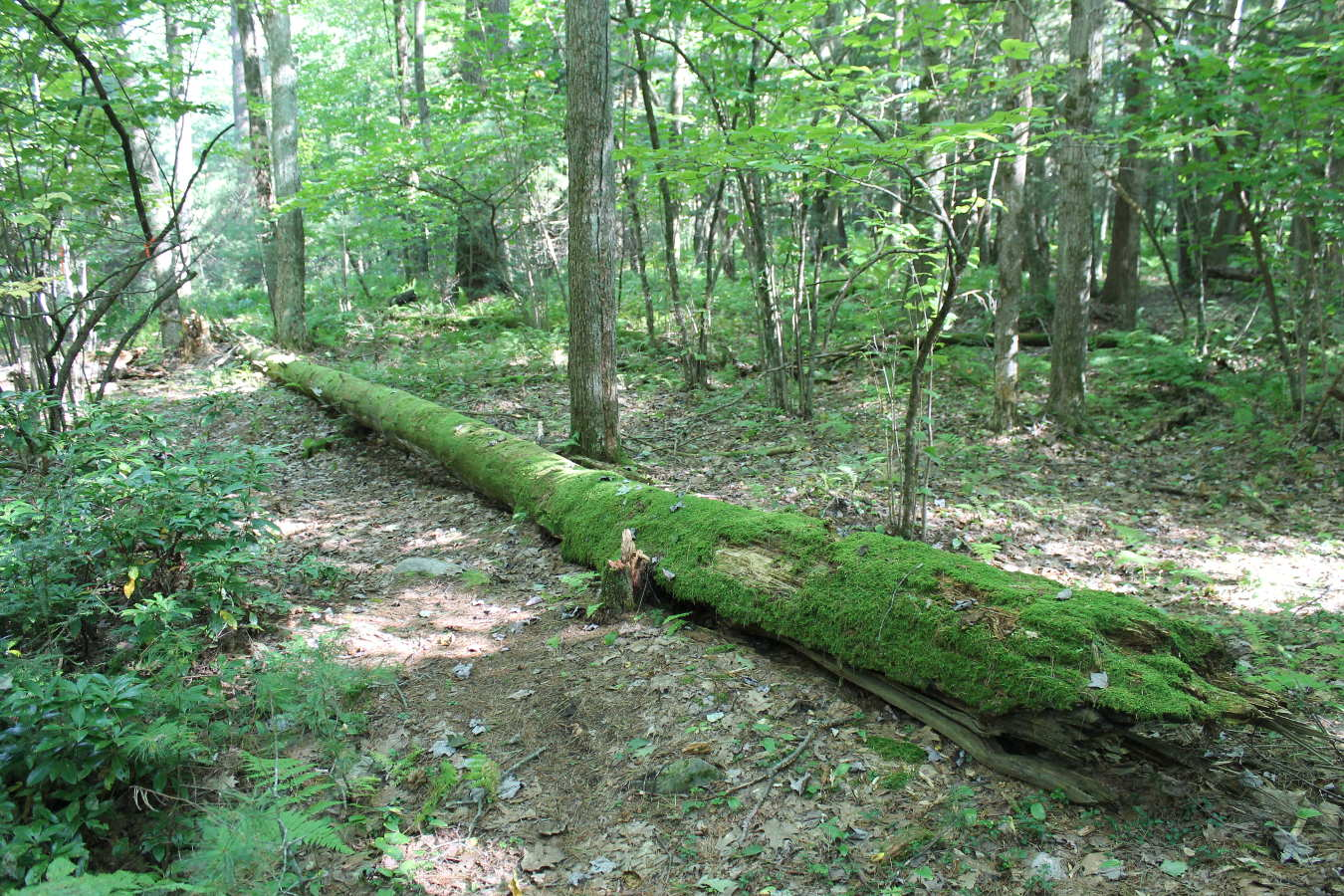Photo of mossy log in Schiffman Woods