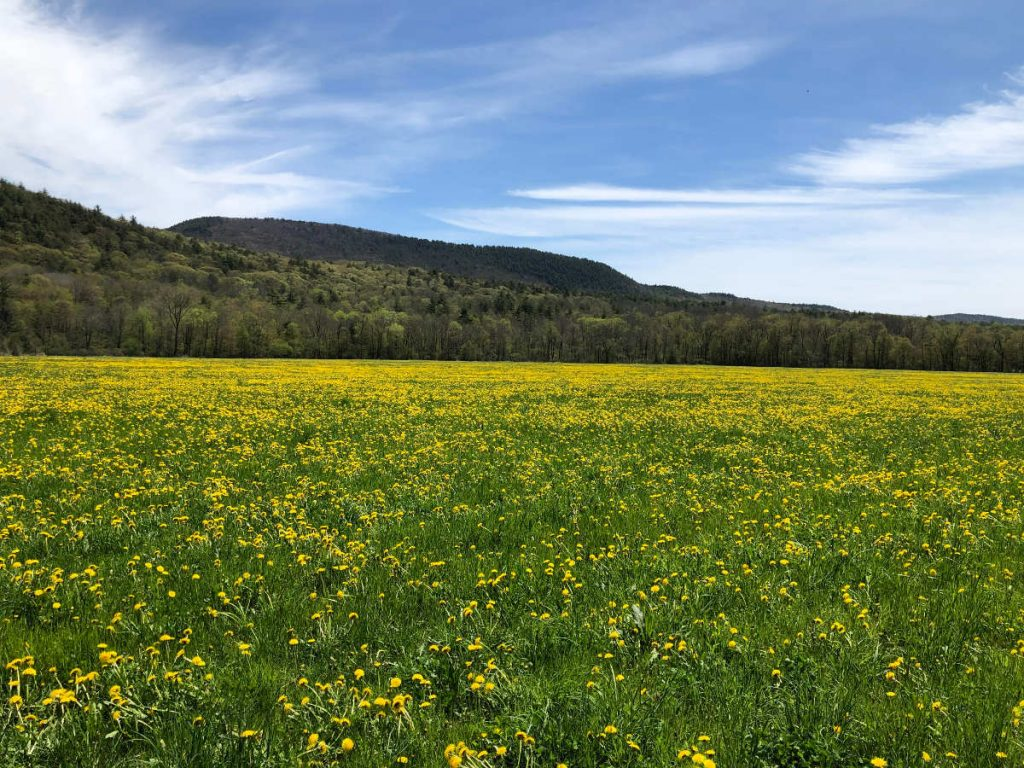 Photo of field with dandelions with mountain in background